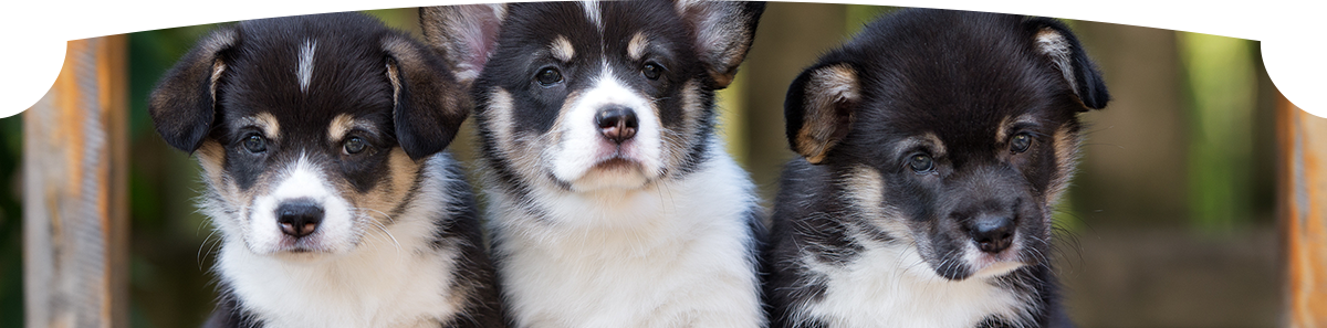 Three beautiful welsh corgi puppies