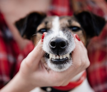 Tips to care for your pet's teeth from a veterinarian near Avondale 32205 who provides dental care for pets